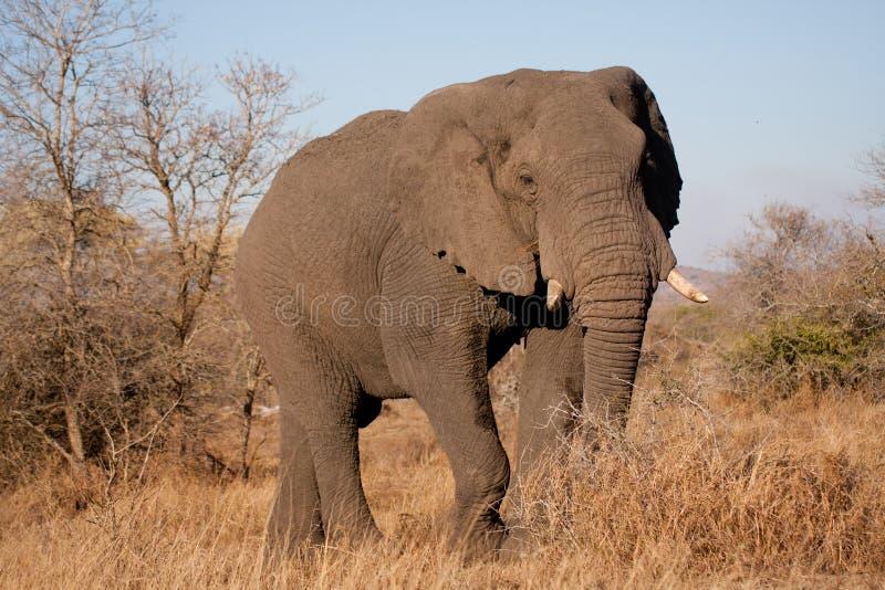 Elefante en el parque nacional de Kruger imagen de archivo
