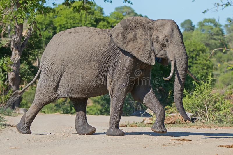 Elefante en el parque nacional de Kruger imagenes de archivo