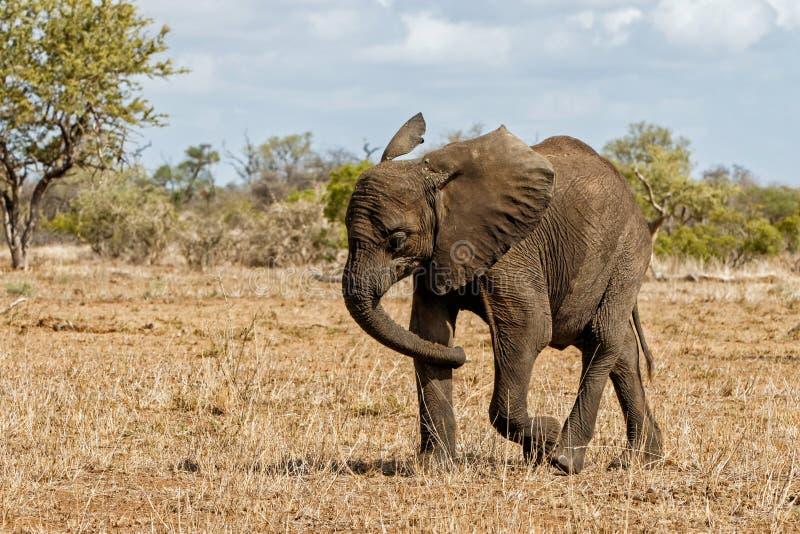 Elefante en el parque nacional de Kruger fotografía de archivo libre de regalías