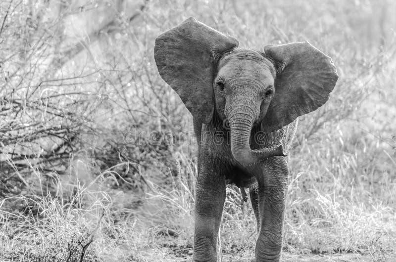 Elefante en el parque Suráfrica de Kruger imagen de archivo libre de regalías
