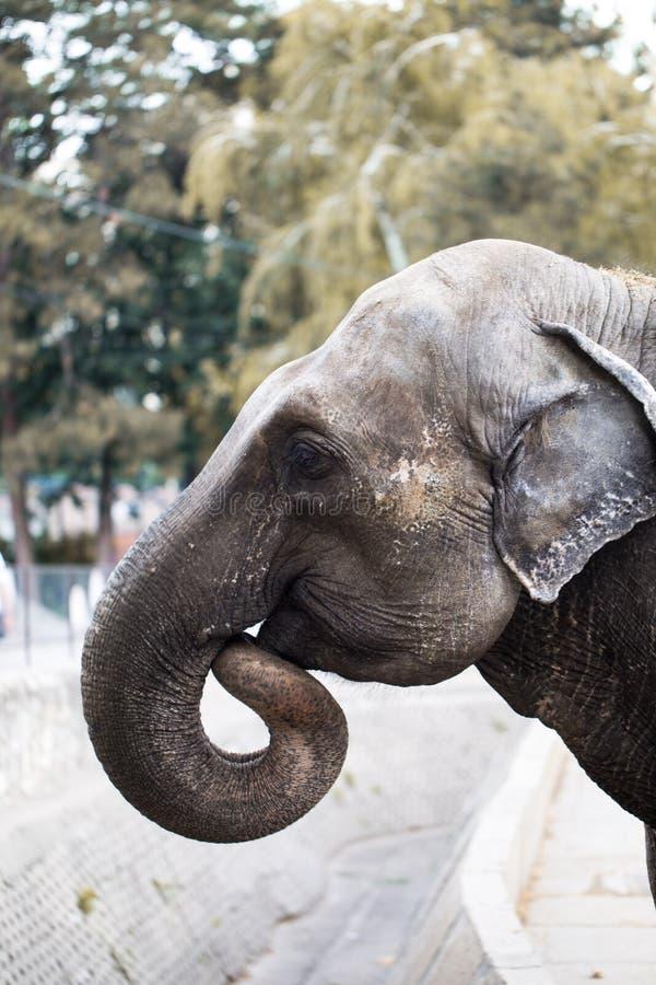 Elefante en el parque zoológico de Belgrado imagenes de archivo