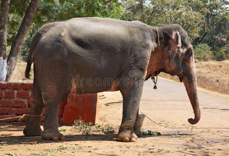 Elefante en el Ponda goa La India imágenes de archivo libres de regalías