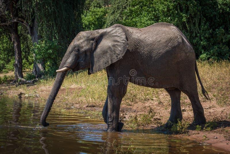 Elefante en el riverbank que estira el tronco a la bebida imagenes de archivo