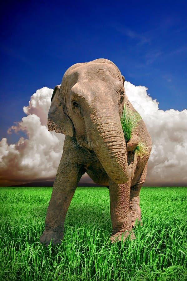 Elefante en hierba fresca imagenes de archivo