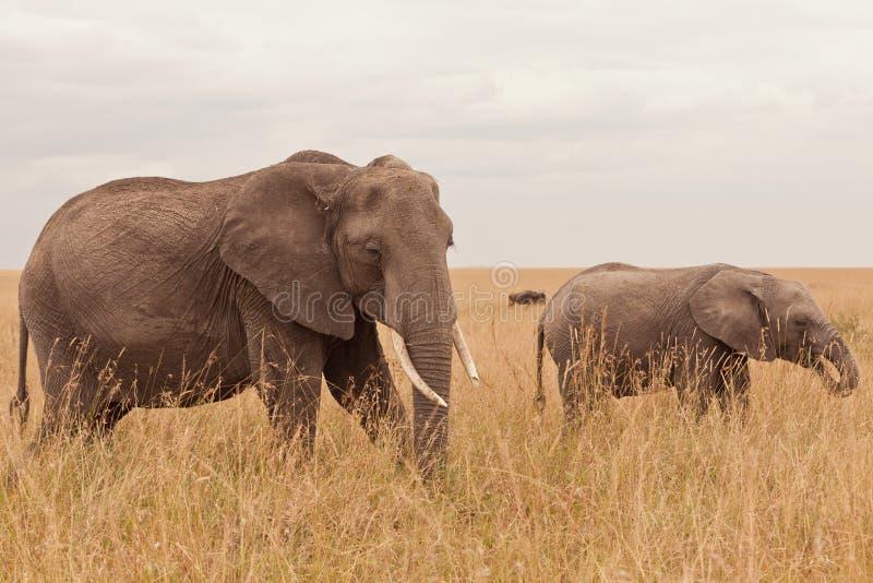 Elefante en Kenia imagen de archivo libre de regalías