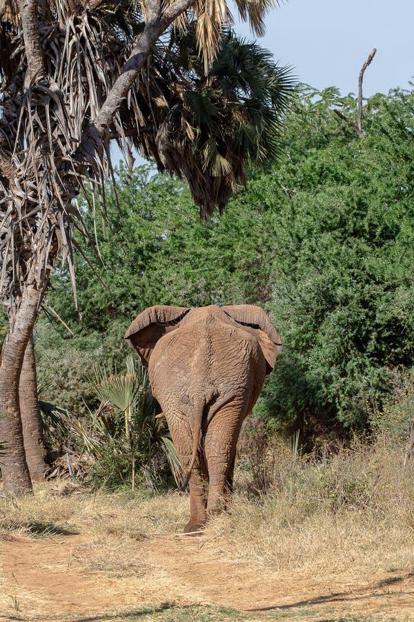 Elefante en Kenia que se va imagen de archivo