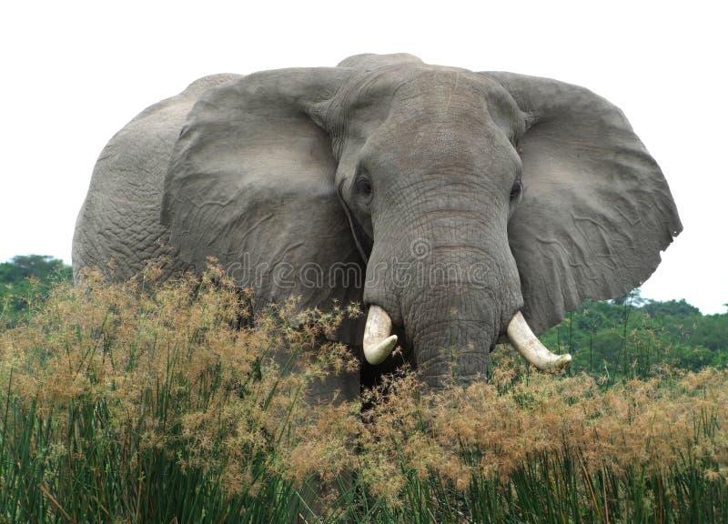 Elefante en la alta vegetación herbosa imágenes de archivo libres de regalías