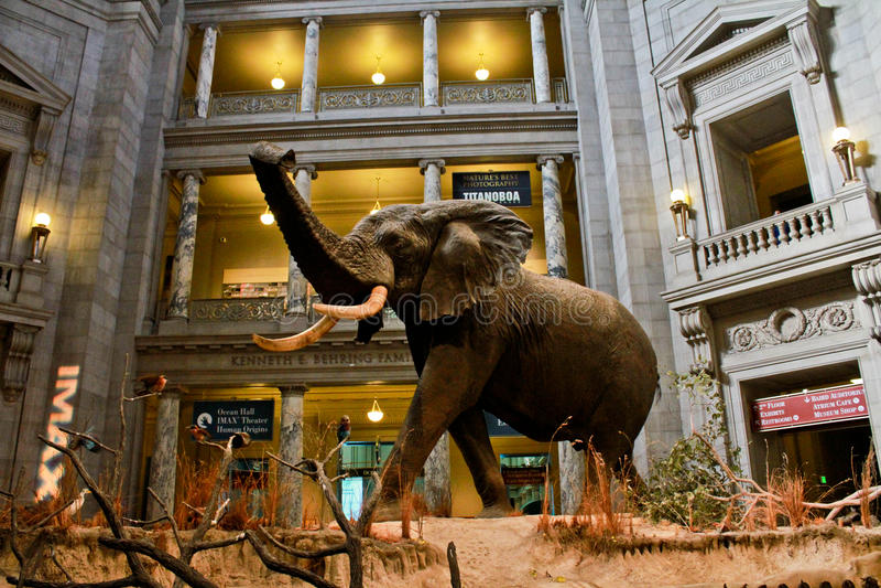 Elefante en la exhibición en el museo de Smithsonian. fotografía de archivo