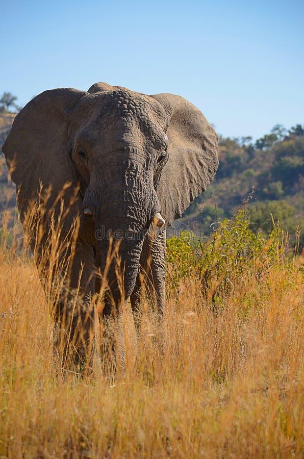 Elefante en la hierba foto de archivo