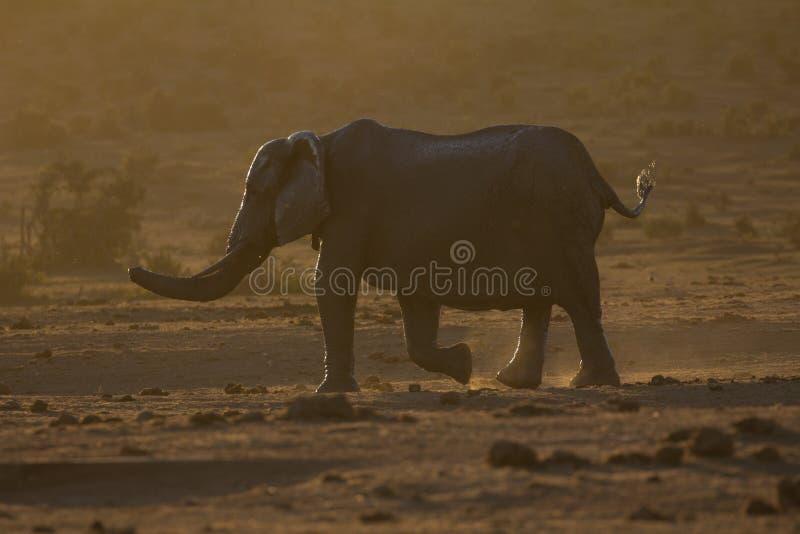 Elefante en la oscuridad en arbusto africano imágenes de archivo libres de regalías