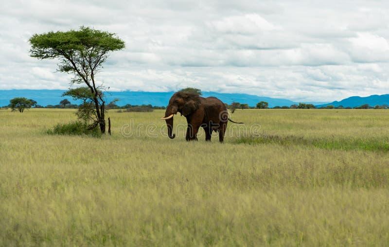 Elefante en la sabana con un árbol imagen de archivo