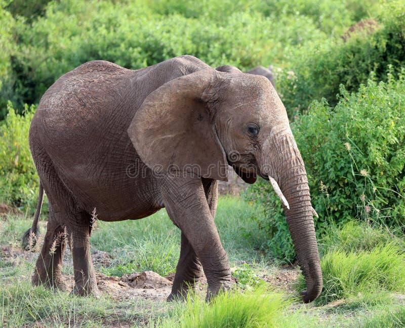 Elefante en Masai Mara fotografía de archivo libre de regalías