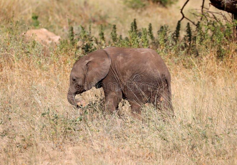 Elefante en Masai Mara imagenes de archivo