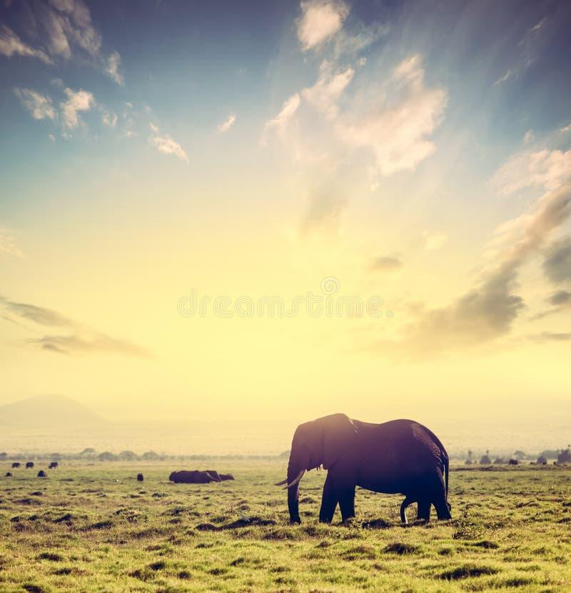 Elefante en sabana africana en la puesta del sol Safari en Amboseli, Kenia, África foto de archivo