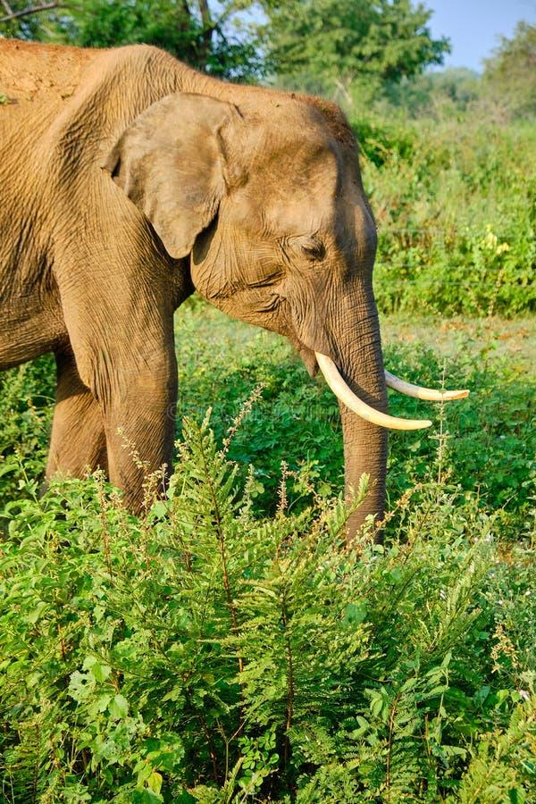 Elefante en safari en Sri Lanka foto de archivo
