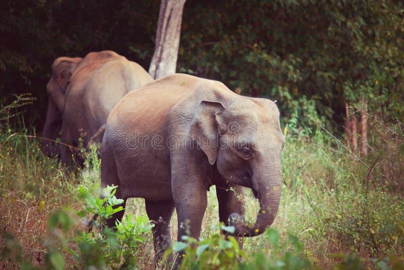 Download Elefante en Sri Lanka foto de archivo. Imagen de manada - 64207264