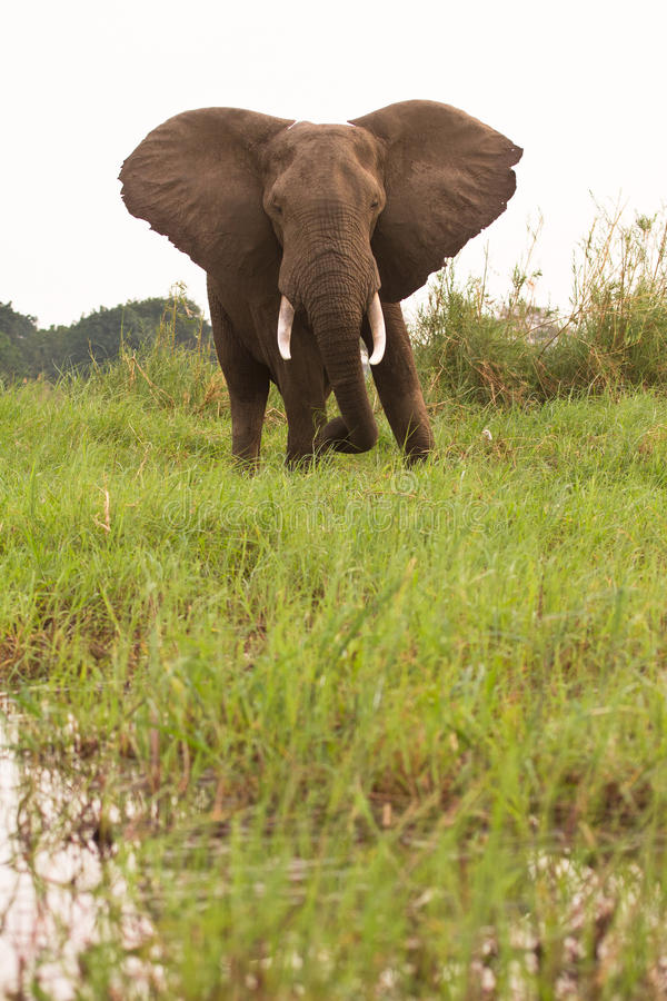 Elefante en Zambia imagenes de archivo