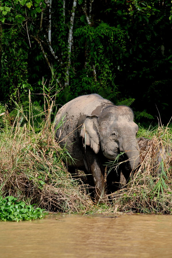 Elefante enano 1 de Borneo foto de archivo