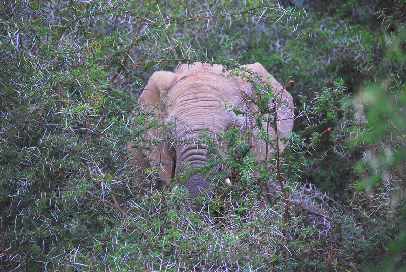 Elefante enorme de África A Bull que carrega através de Thorn Bush fotos de stock