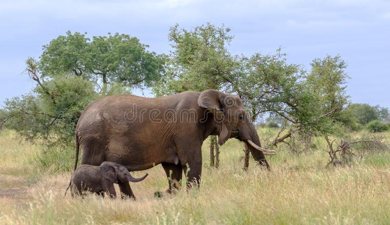 Elefante femenino con nuevamente el paseo nacido minúsculo del becerro en la hierba larga en el parque nacional de Kruger, Suráfr fotografía de archivo libre de regalías