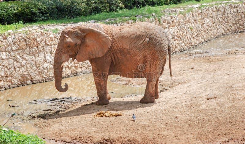 Elefante femenino en el safari del parque zoológico imagen de archivo