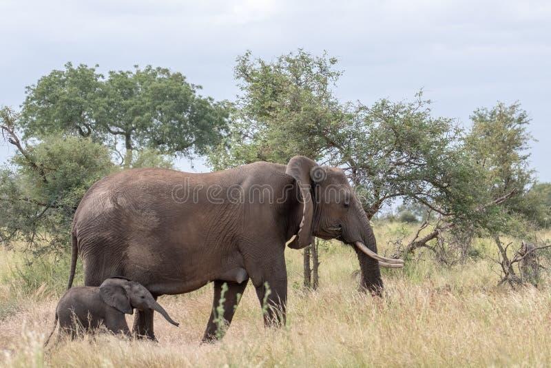 Elefante femenino y nuevamente paseo nacido del becerro en la hierba larga en el parque nacional de Kruger, Suráfrica imágenes de archivo libres de regalías