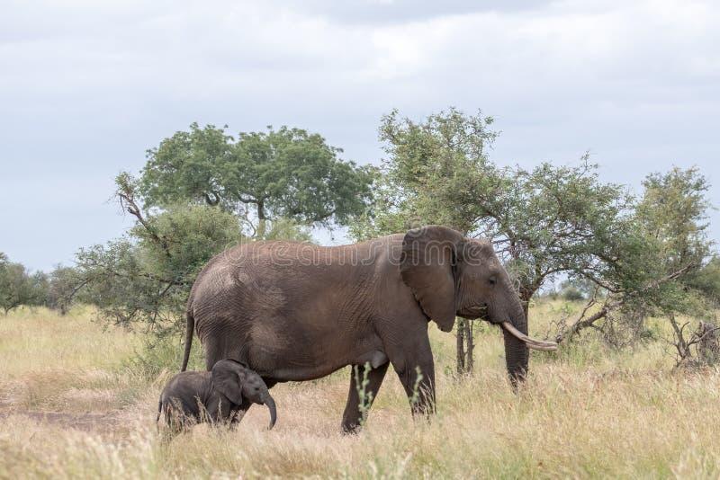 Elefante femenino y nuevamente paseo nacido del becerro en la hierba larga en el parque nacional de Kruger, Sur?frica fotografía de archivo libre de regalías