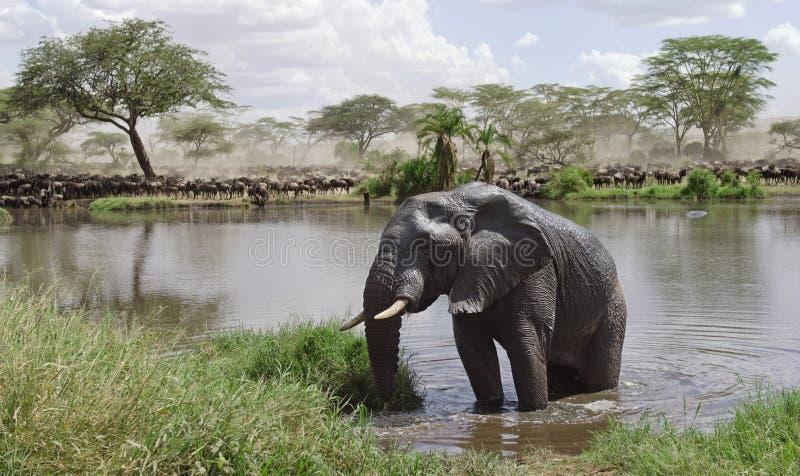 Elefante in fiume nella sosta nazionale di Serengeti fotografia stock
