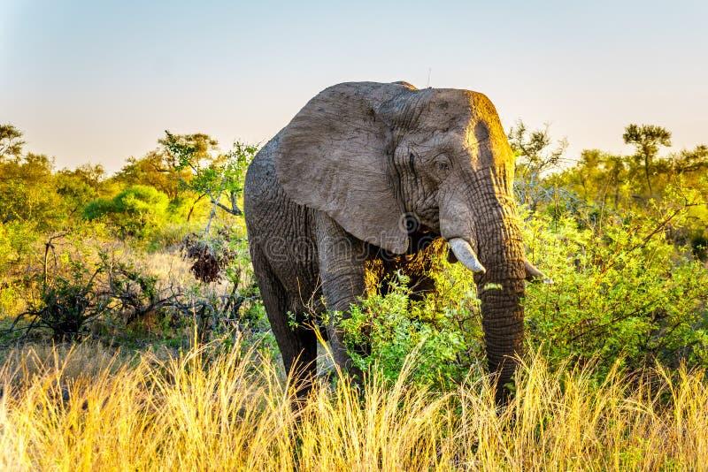 Elefante grande Bull en la puesta del sol en el parque nacional de Kruger imagen de archivo libre de regalías