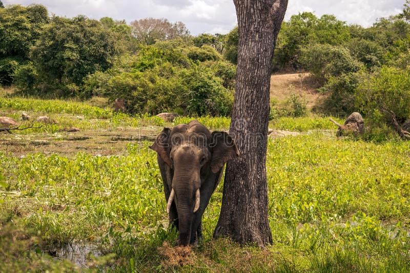 Elefante grande en el safari de Yala, Sri Lanka fotografía de archivo