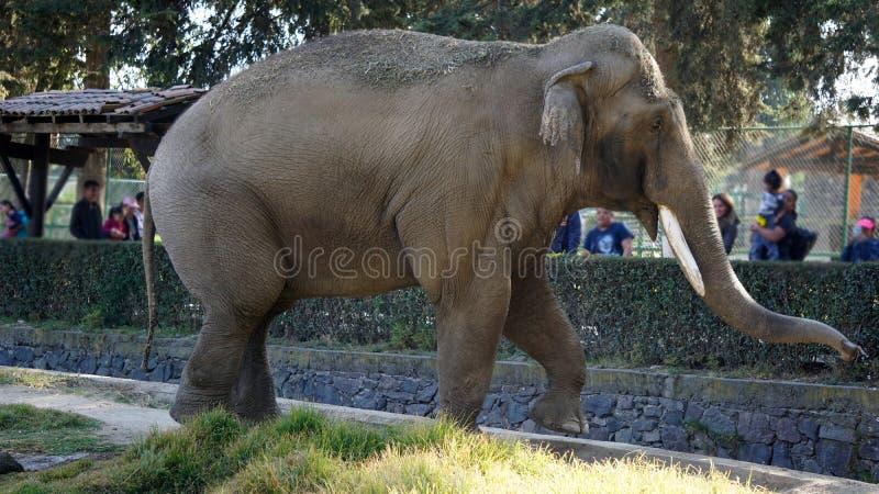 Elefante grande no jardim zoológico foto de stock