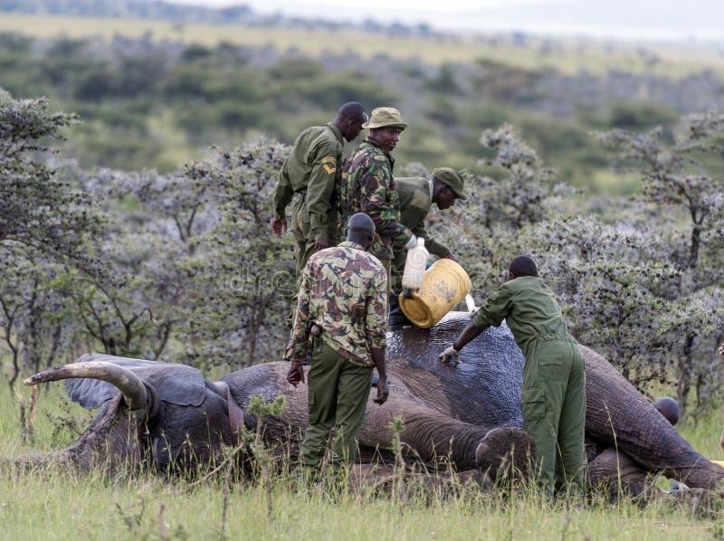 Elefante herido por los cazadores furtivos, recibiendo el tratamiento para quitar tiro fotos de archivo libres de regalías