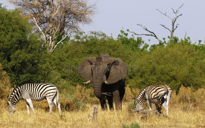 Elefante hermoso y la cebra de Burchell en los llanos africanos foto de archivo libre de regalías