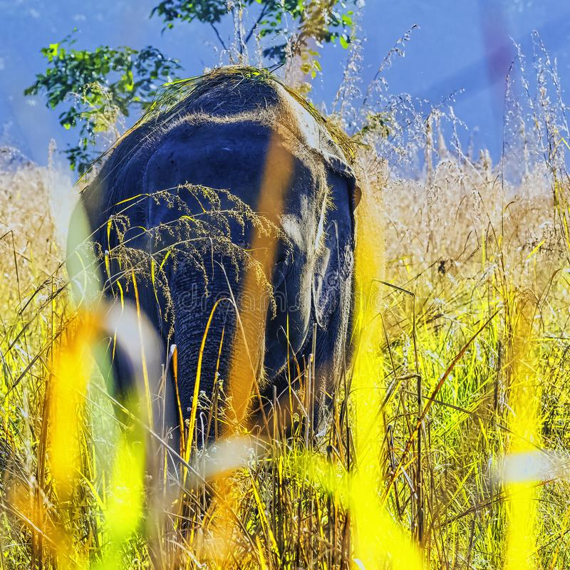Elefante indiano escondido no arbusto - Jim Corbett National Park, Índia fotografia de stock royalty free