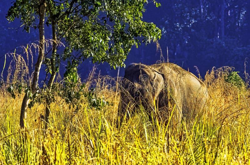 Elefante indiano escondido no arbusto - Jim Corbett National Park, Índia imagens de stock royalty free