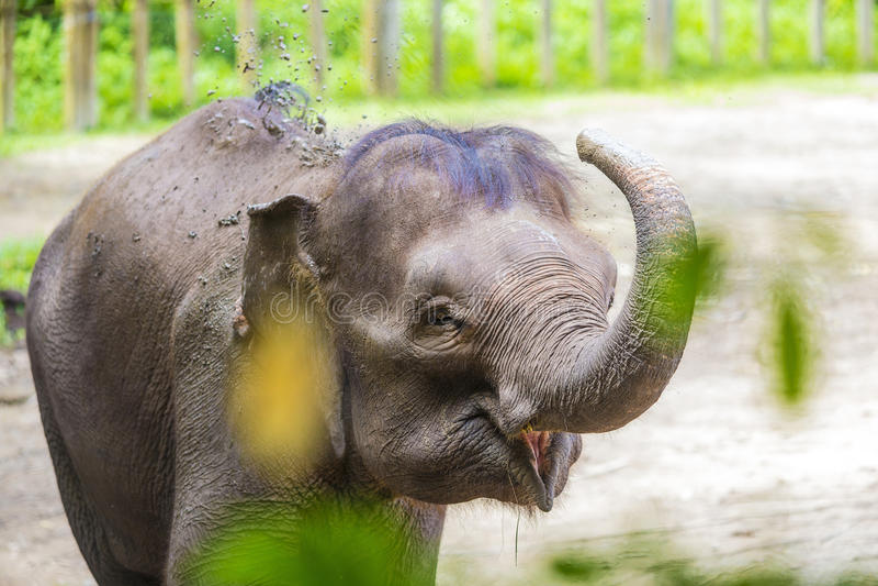 Elefante indio joven imagen de archivo