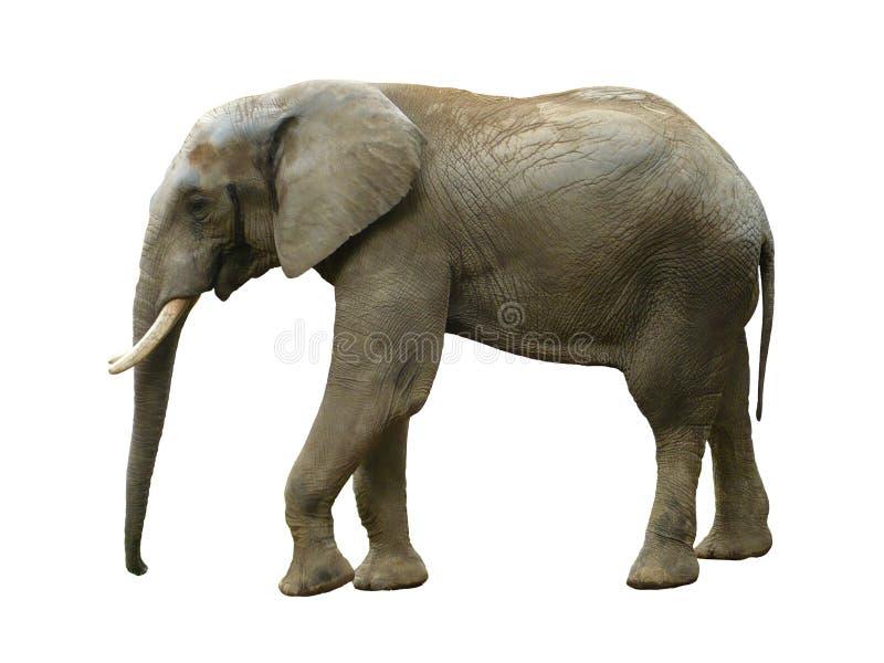 Elefante isolado imagem de stock