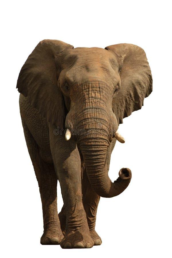 Elefante isolado em #1 branco foto de stock