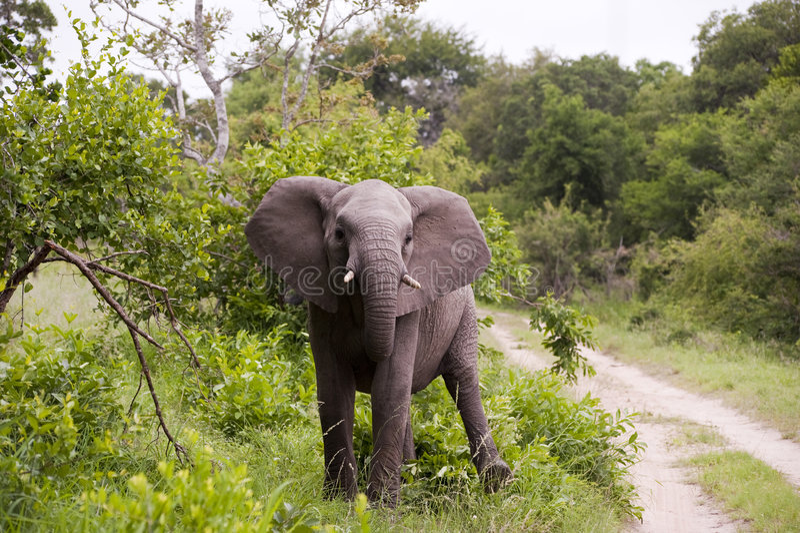 Elefante joven foto de archivo