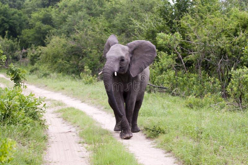 Elefante joven imagen de archivo