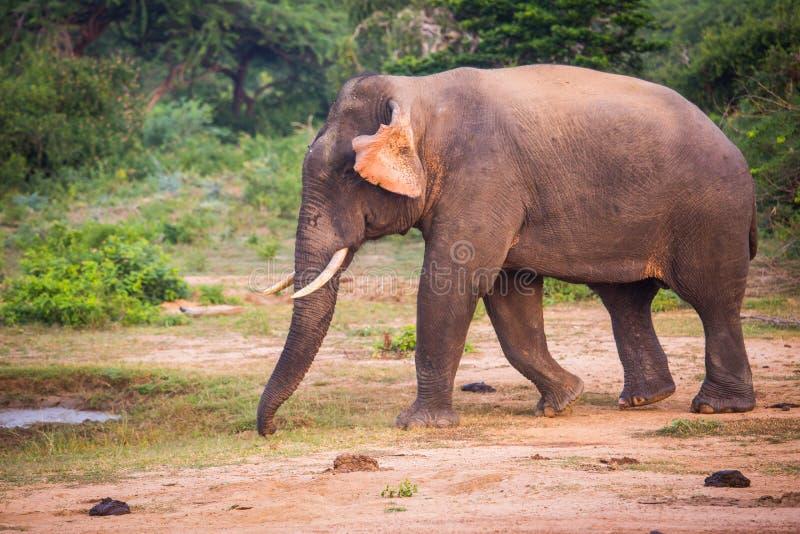 Elefante Joven Con Los Colmillos Foto de archivo - Imagen de ...