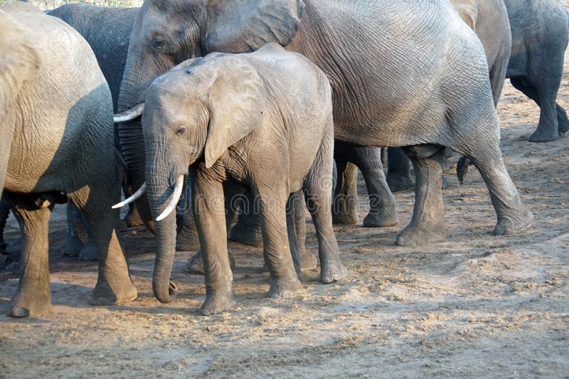 Elefante joven en Botswana foto de archivo