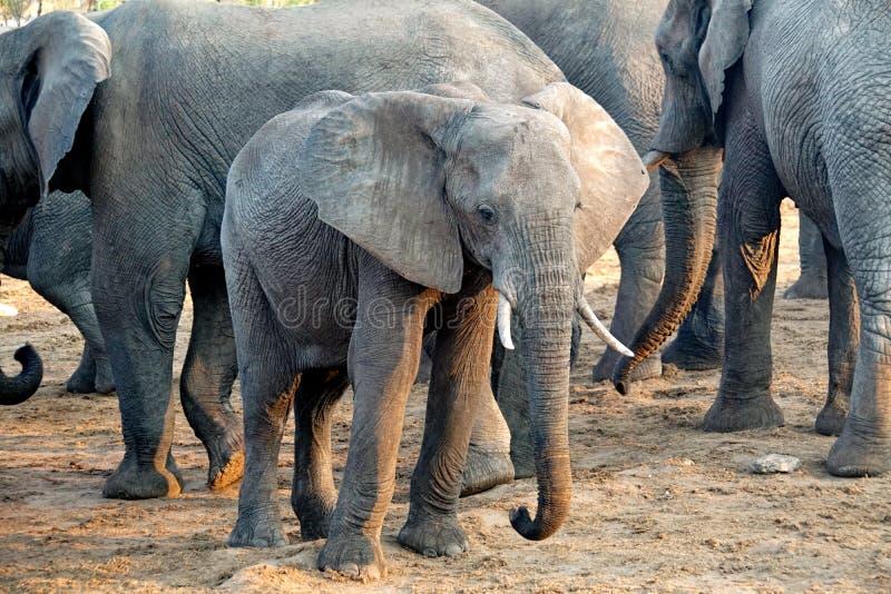 Elefante joven en Botswana imagen de archivo