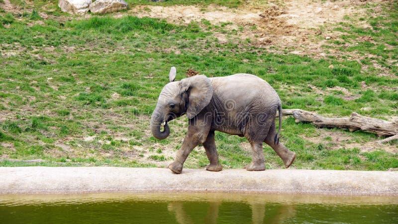 Elefante joven en el parque zoológico de Beauval fotos de archivo
