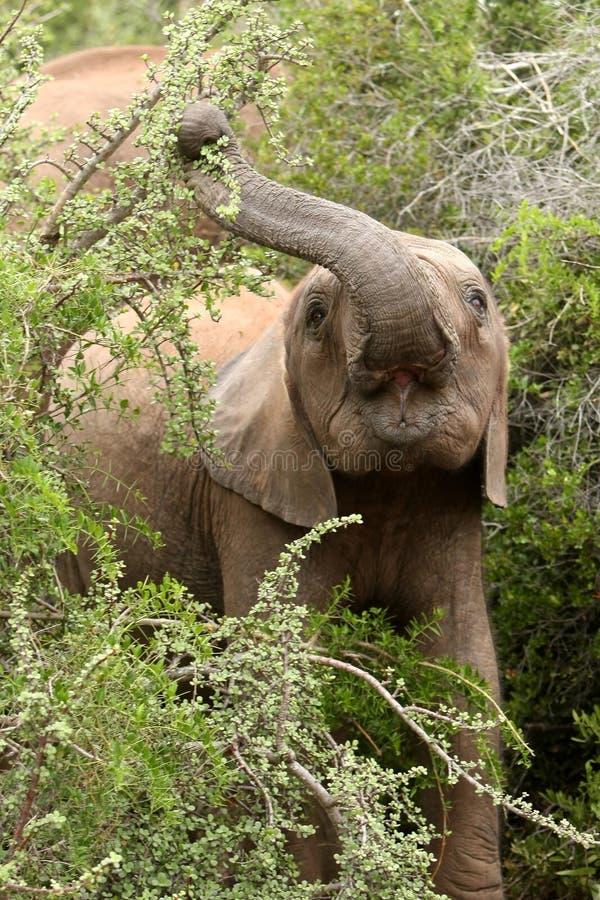 Elefante joven que come las hojas foto de archivo
