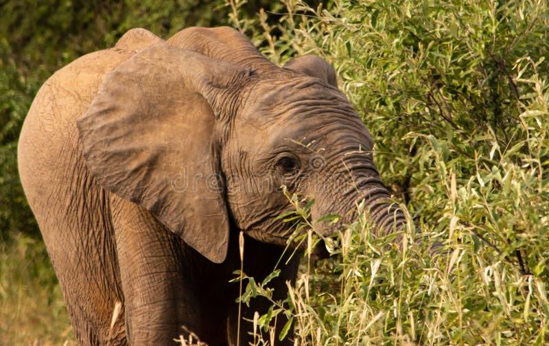 Elefante joven que pasta en un árbol imagen de archivo