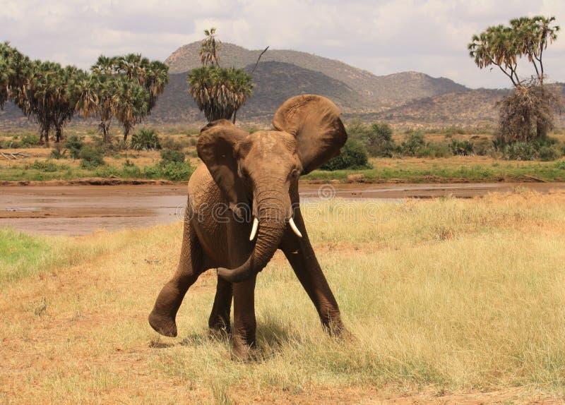 Elefante louco foto de stock royalty free