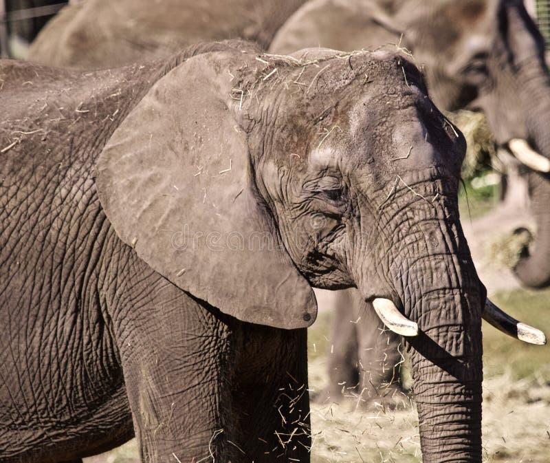 Elefante maduro imagens de stock royalty free