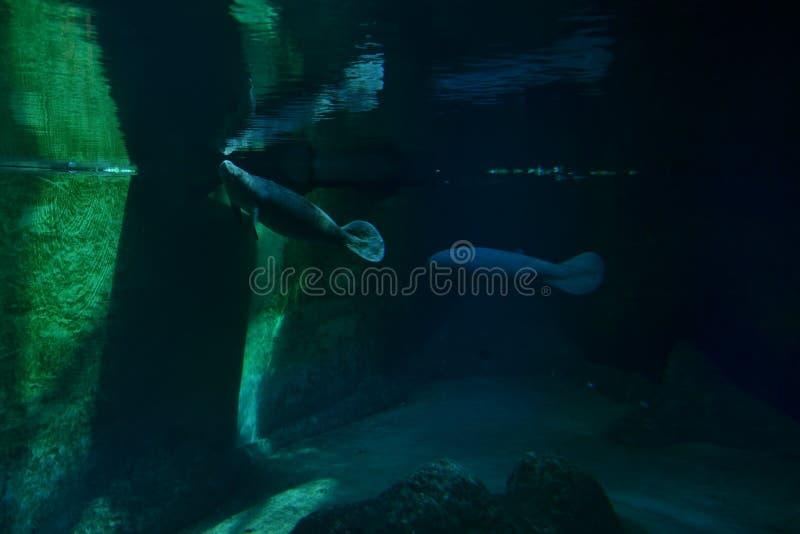Elefante marino fotografia stock libera da diritti