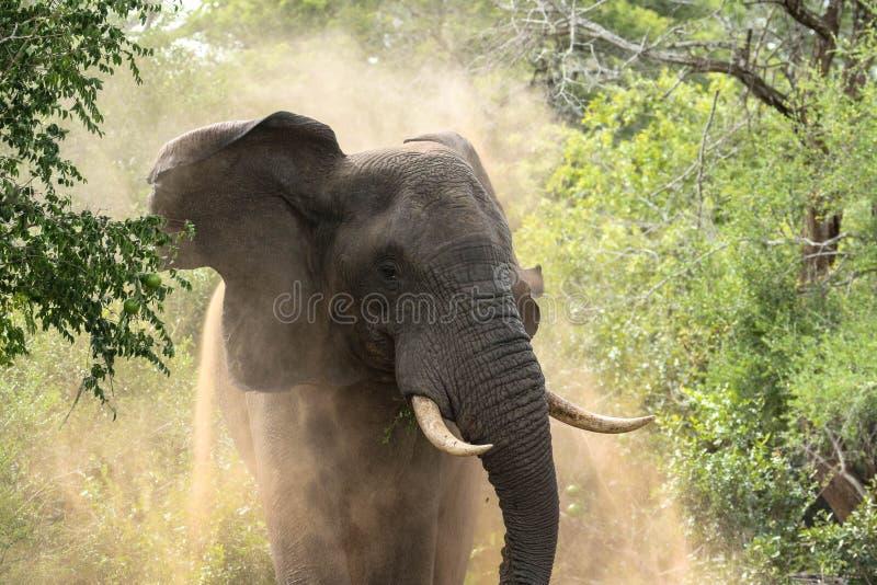 Elefante masculino imagenes de archivo